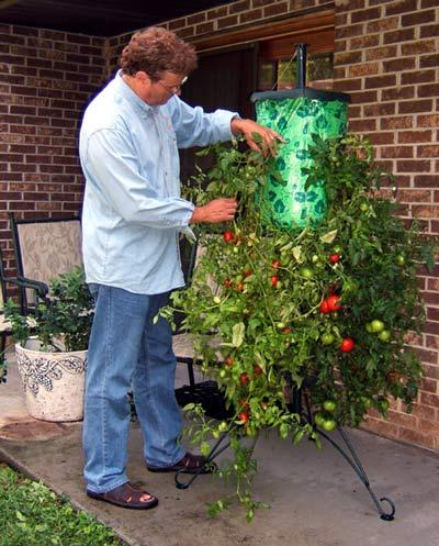 Super size topsy turvy upside down tomato tree the green head