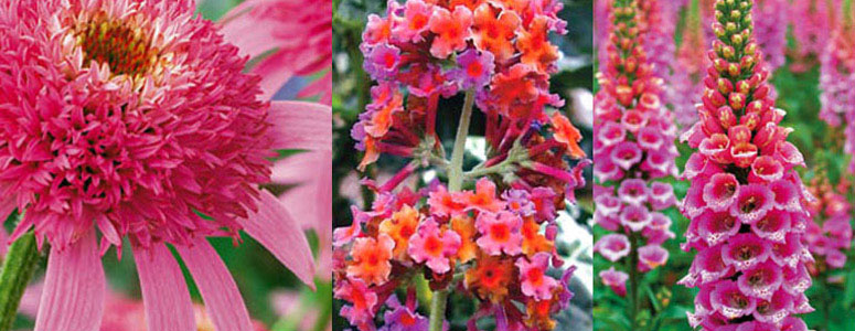 Butterfly Bush Collection Attract Butterflies
