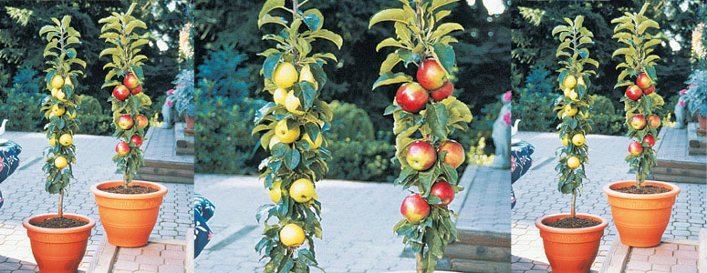 Columnar Apple Trees - Grow Vertically Without Branching Out