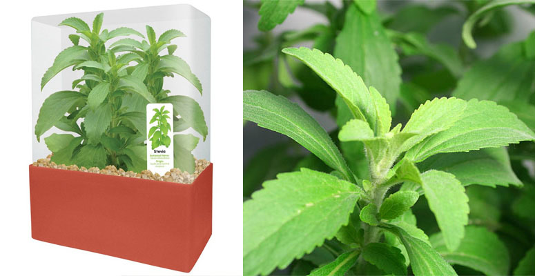 Dunecraft Stevia Sweet Leaf Plant Kit