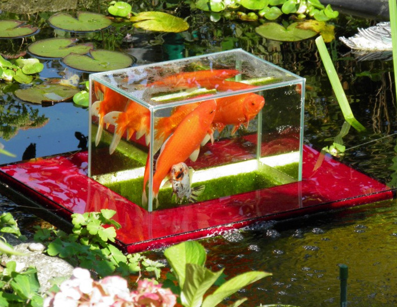 Flying aquarium above the water floating koi goldfish for Koi fish aquarium