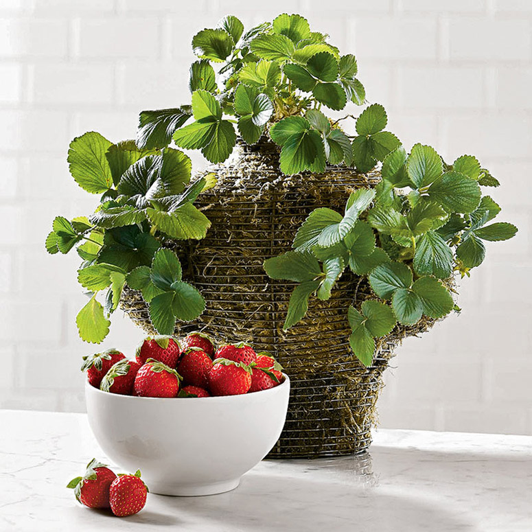 Garden Strawberry Plants in Wire Basket