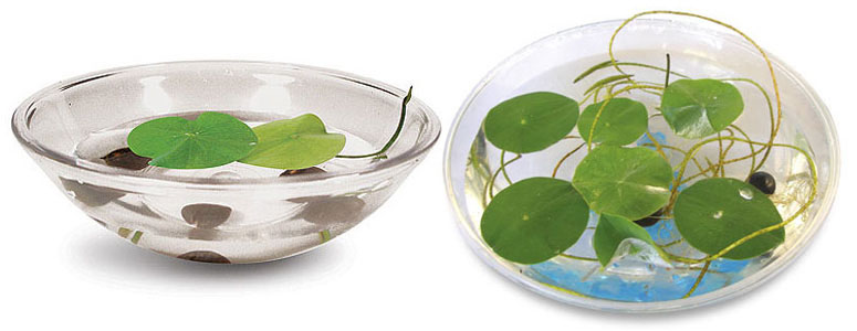 Lily Pad Kit - Grow Your Own Giant Lily Pads