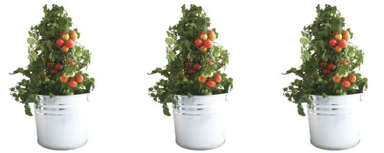 Heirloom Tomato Garden in a Pail