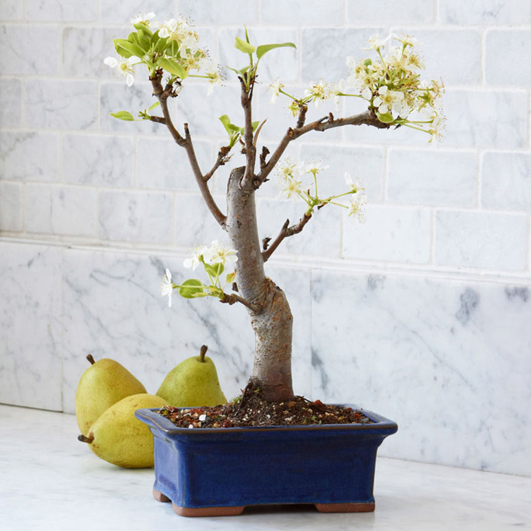 miniature pear bonsai tree the green head. Black Bedroom Furniture Sets. Home Design Ideas