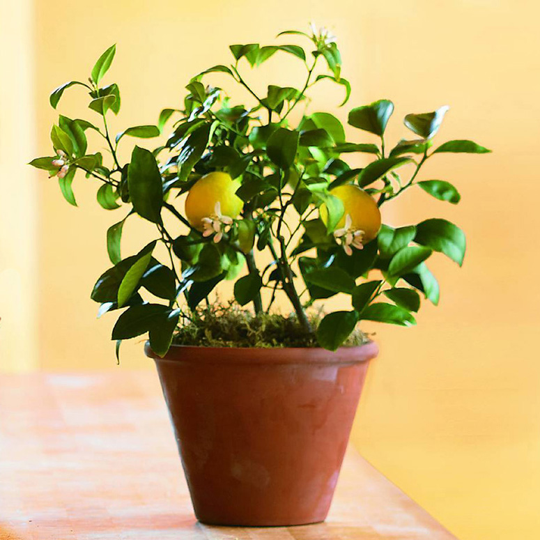 Organic Dwarf Meyer Lemon Tree