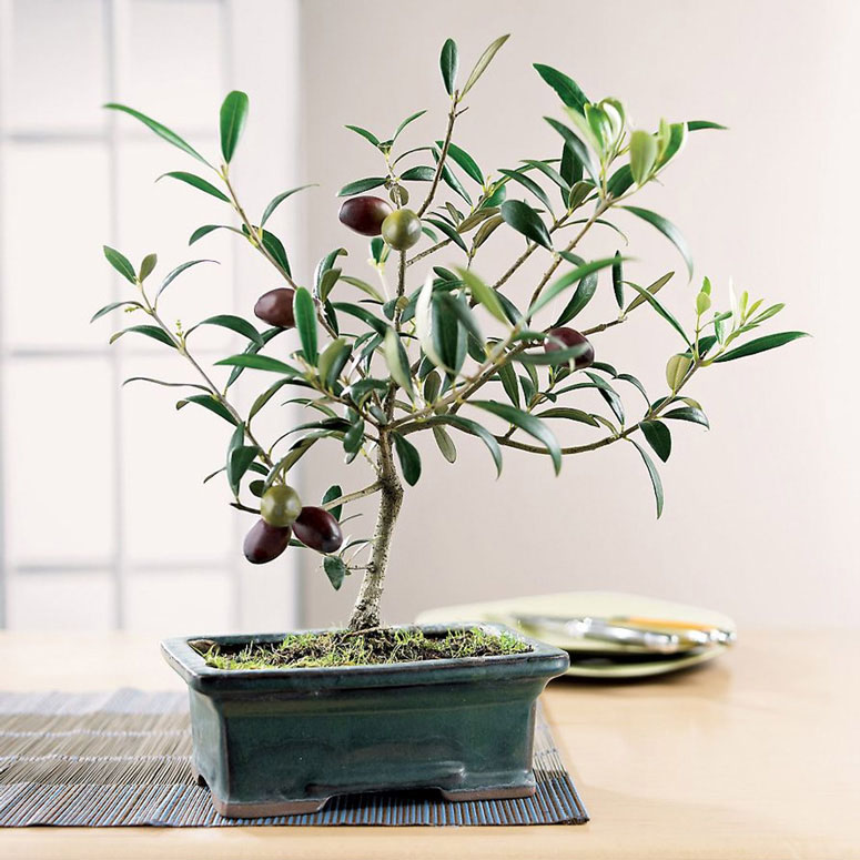 Tuscan Olive Bonsai Tree - The Green Head