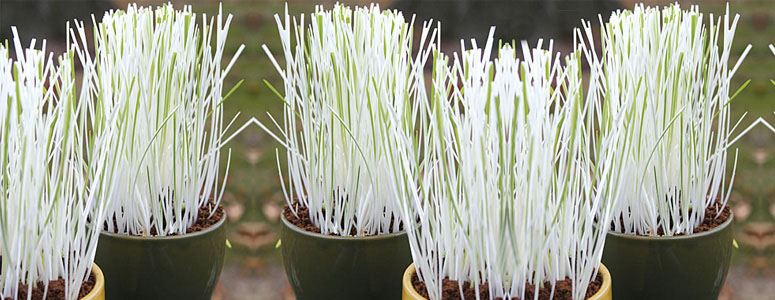 White and Green Variegated Cat Grass